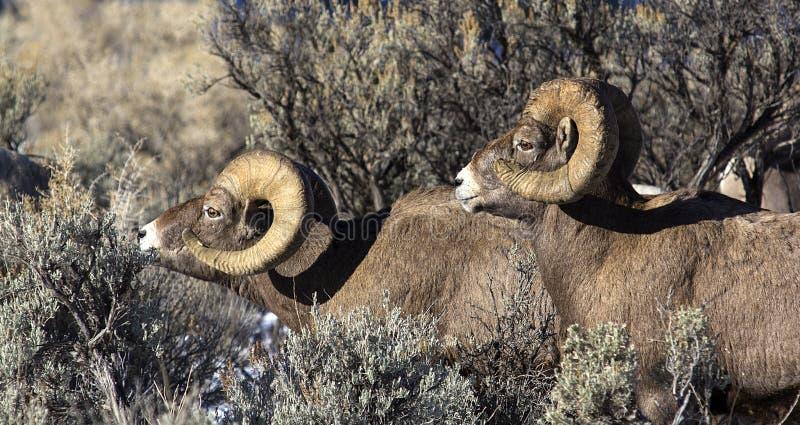 Dos espolones de las ovejas del Big Horn imagen de archivo libre de regalías