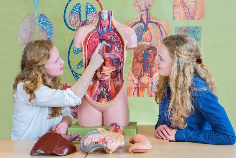 Dos estudiantes que aprenden el cuerpo humano modelo en biología imagen de archivo libre de regalías