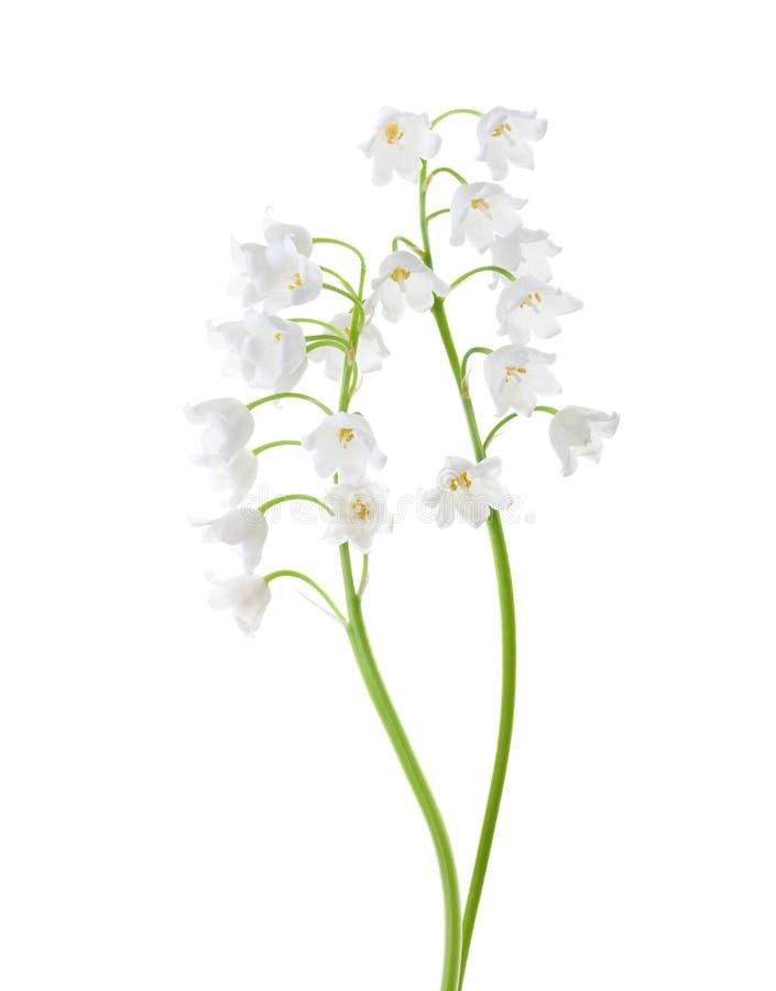 Dos flores aisladas en el fondo blanco Lirio de los valles fotografía de archivo