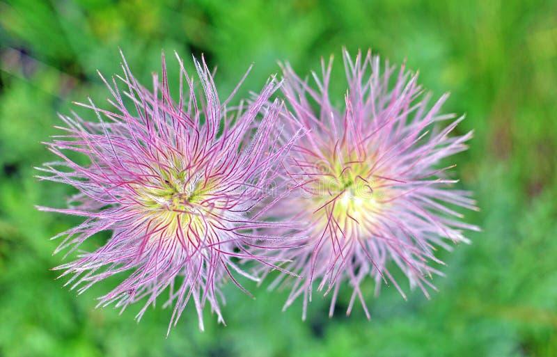 Dos flores alpinas fotos de archivo