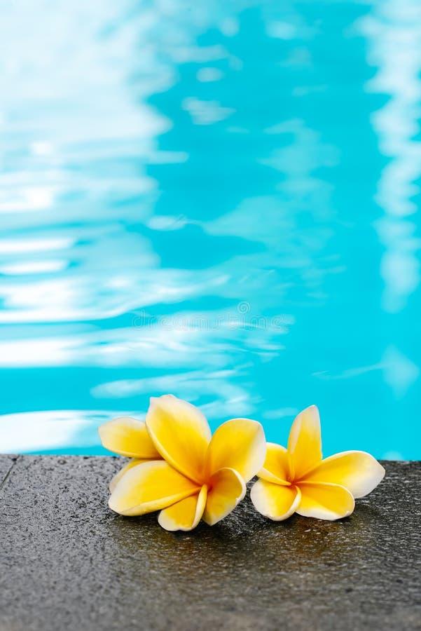 Dos flores amarillas del frangipani del plumeria en piscina fotografía de archivo libre de regalías