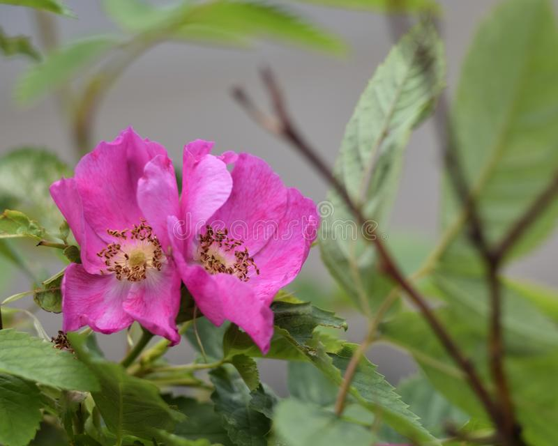 Dos flores color de rosa salvajes del rosa brillante fotografía de archivo