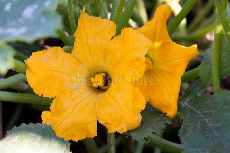 Dos flores del calabacín en el huerto fotos de archivo libres de regalías