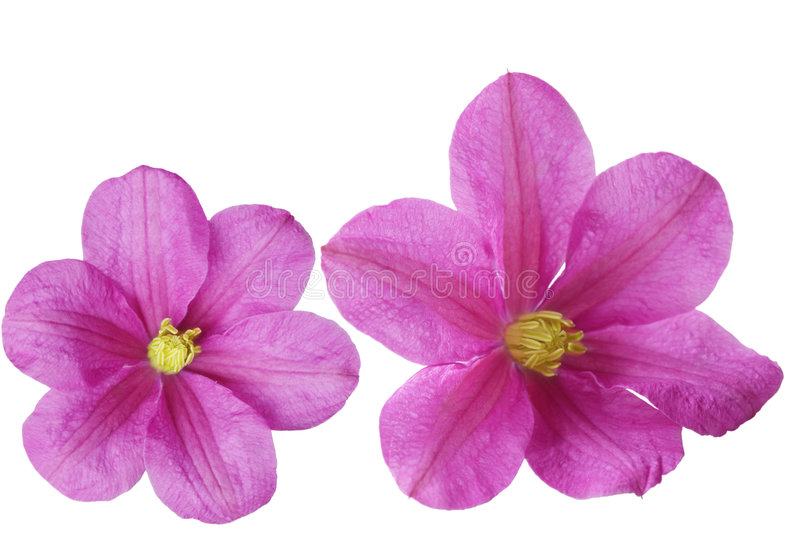 Dos flores del Clematis imagen de archivo libre de regalías