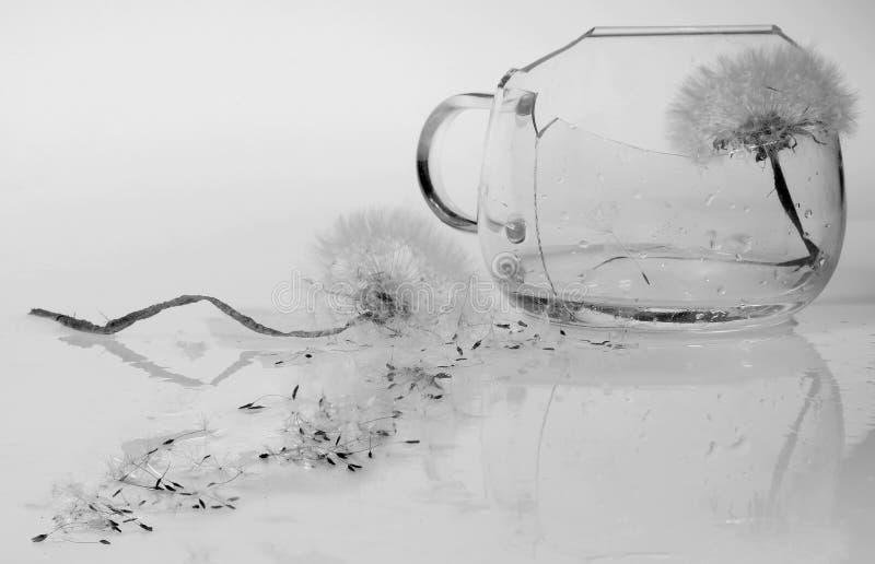 Dos flores del diente de león, simbolizando una pelea: uno en una taza rota de cristal clara, el otro está cerca, el tronco se cu imágenes de archivo libres de regalías