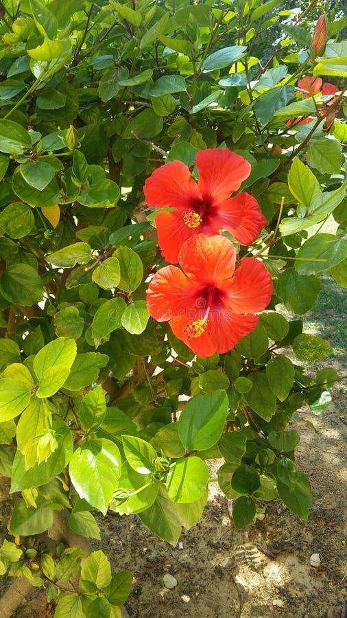 Dos flores del hibisco imágenes de archivo libres de regalías