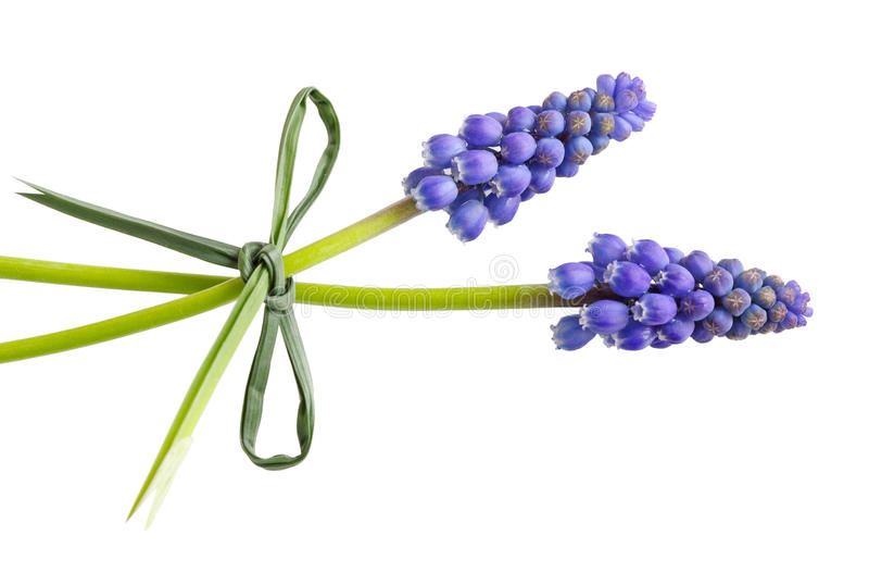 Dos flores del uva-jacinto imágenes de archivo libres de regalías