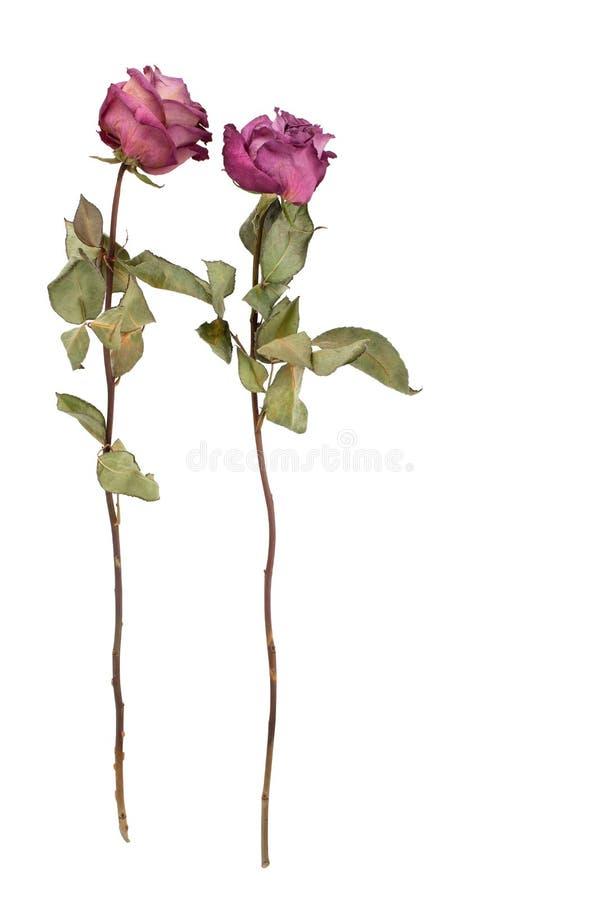 Dos flores hermosas de las rosas de Borgoña con el tronco largo y hojas verdes en el primer aislado fondo blanco imagen de archivo