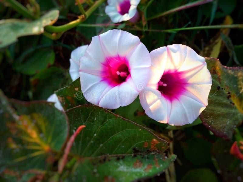 Dos flores hermosas ipomoea batatas en el jardín Con el fondo verde con las hojas fotos de archivo