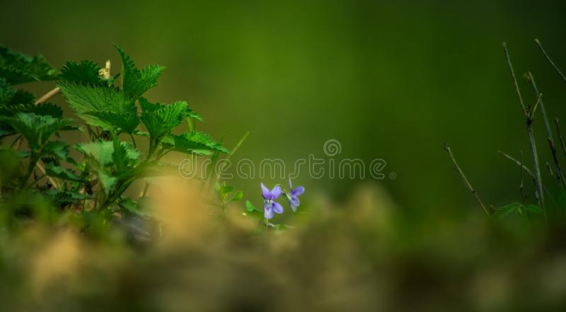Dos flores púrpuras que ocultan detrás de la hierba imagen de archivo