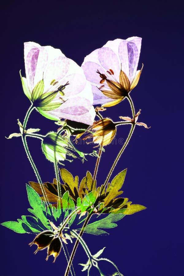 Dos flores presionadas foto de archivo
