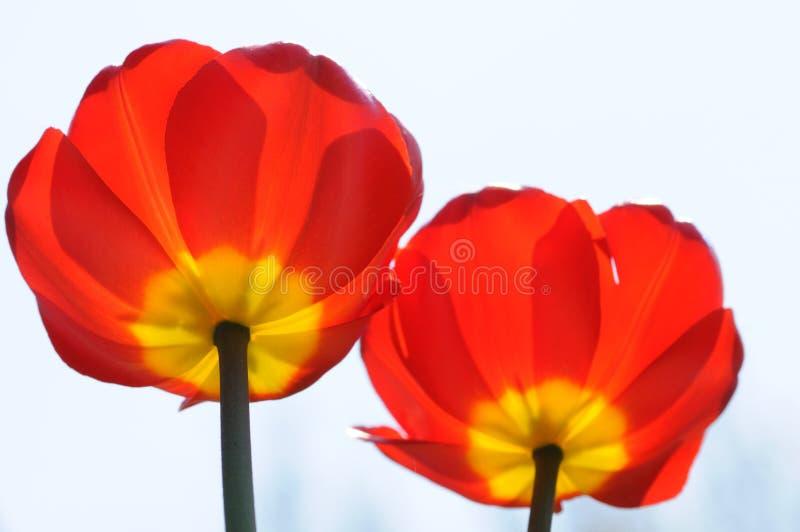 Dos flores rojas imagenes de archivo