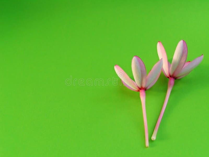 Dos flores rosadas imagen de archivo libre de regalías