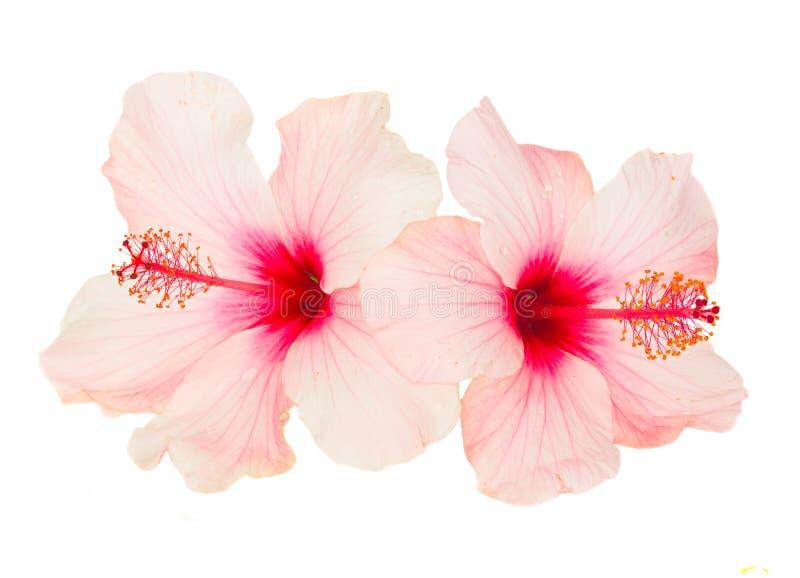 Dos flores rosadas del hibisco fotografía de archivo