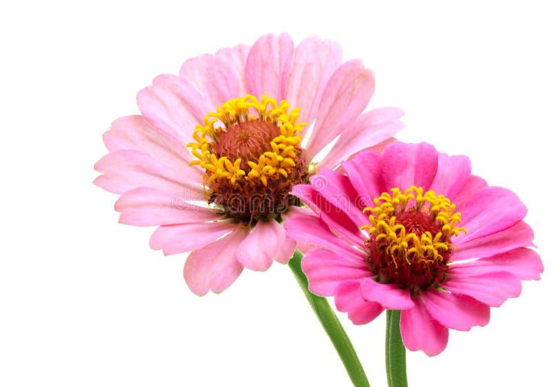 Dos flores rosadas del zinnia imagen de archivo