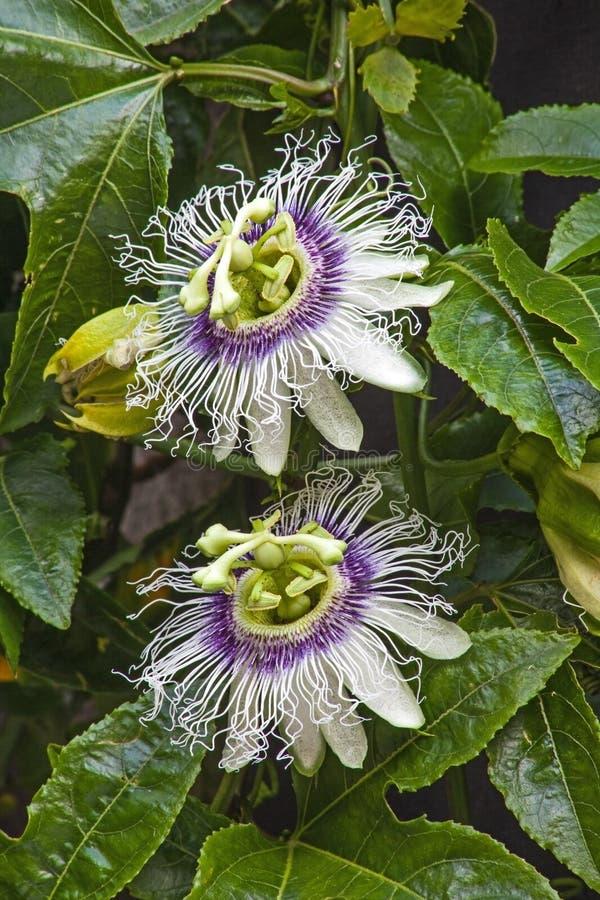 Dos flores y hojas de la fruta de la pasión imágenes de archivo libres de regalías