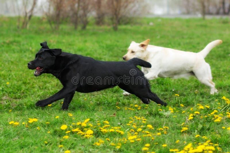 Dos funcionamientos de la diversión de los labradores retrieveres amarillo blanco y negro de los perros imagenes de archivo