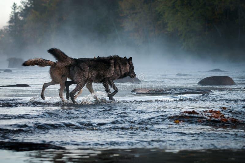 Dos funcionamientos del lupus de Grey Wolves Canis en otoño de niebla del río imagen de archivo libre de regalías