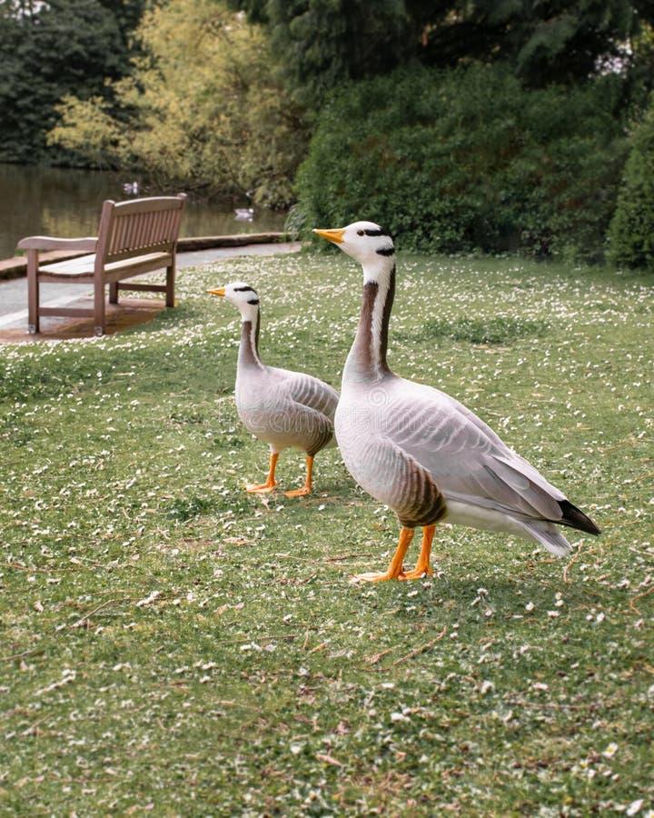Dos gansos canadienses en fila fotografía de archivo