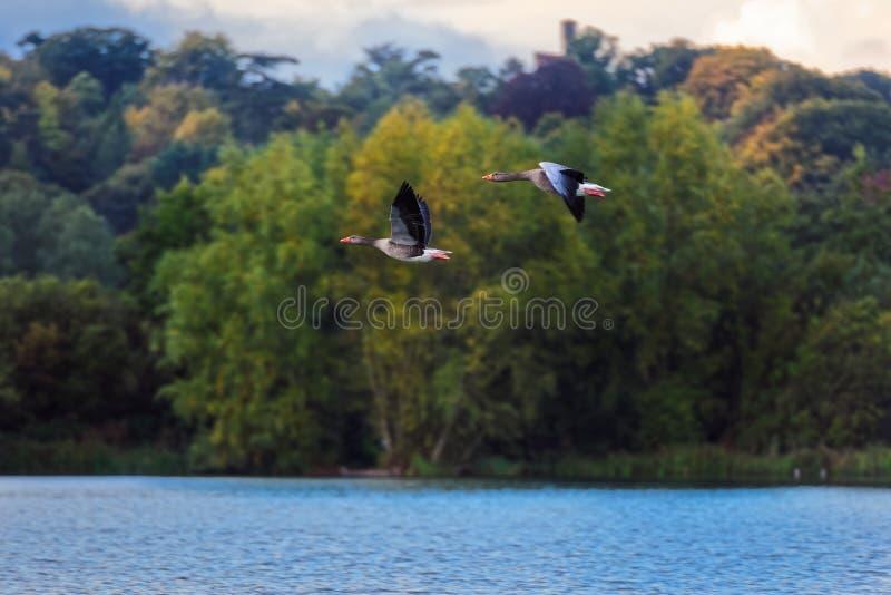 Dos gansos de ganso silvestre en vuelo imagenes de archivo