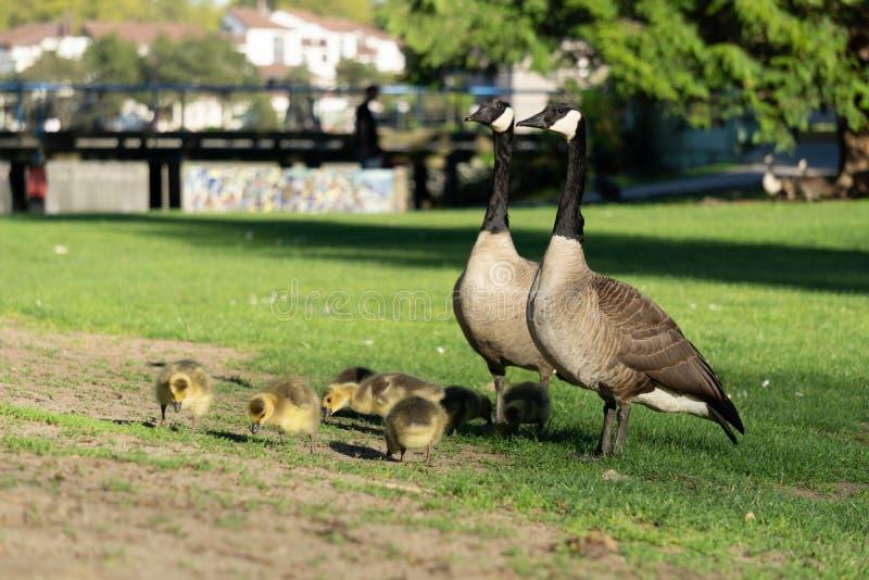 Dos gansos y con los ansarones en campo verde en el parque foto de archivo libre de regalías