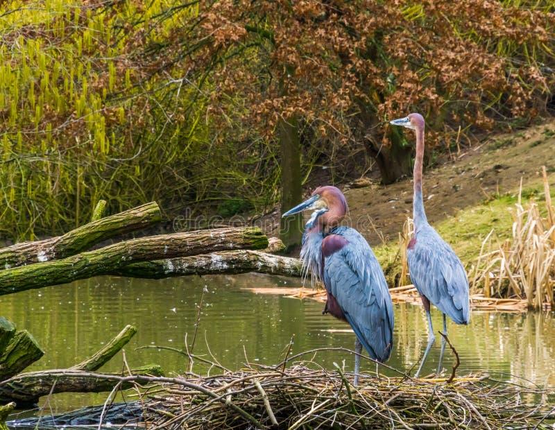 Dos garzas de Goliat que se unen en el lado del agua, la especie más grande de la garza de los mundos, los pájaros de África y la fotografía de archivo
