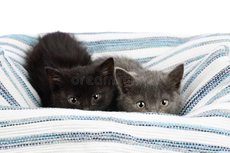 Dos gatitos adorables de uno y medio meses, gris y negro, mirando a escondidas sobre una alfombra del trapo Estudio tirado de her foto de archivo libre de regalías