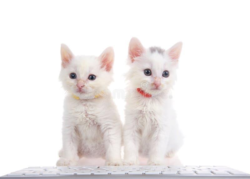 Dos gatitos blancos que llevan los cuellos que se sientan en un teclado de ordenador imagen de archivo