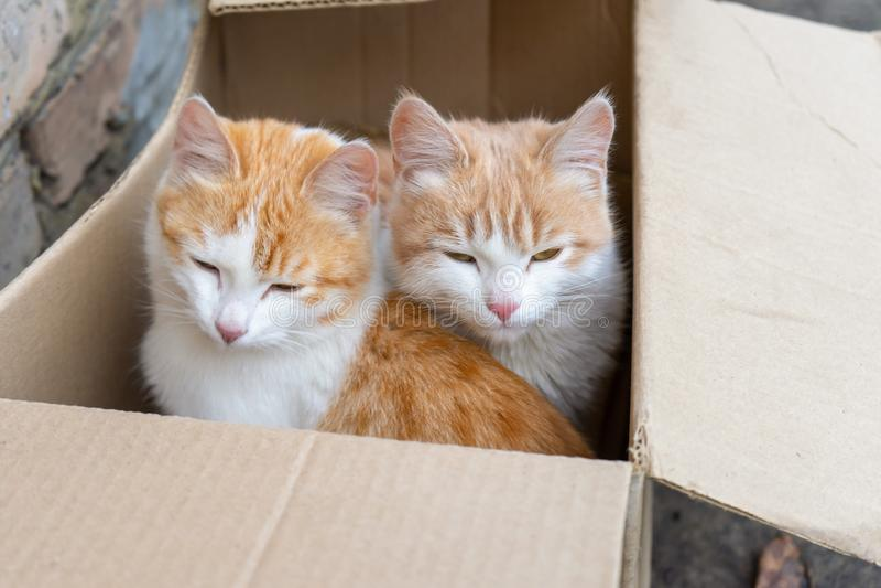 Dos gatitos blancos y rojos sin hogar lindos que se sientan en caja de cartón fotografía de archivo libre de regalías