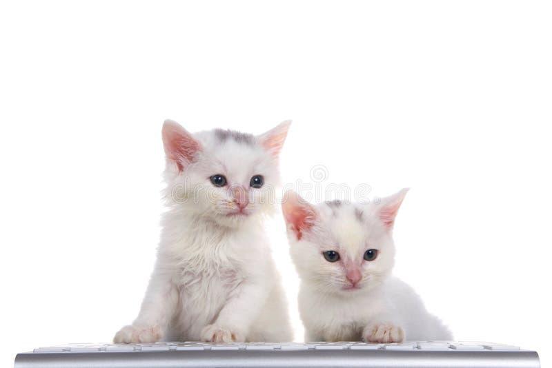 Dos gatitos en un teclado de ordenador fotografía de archivo libre de regalías