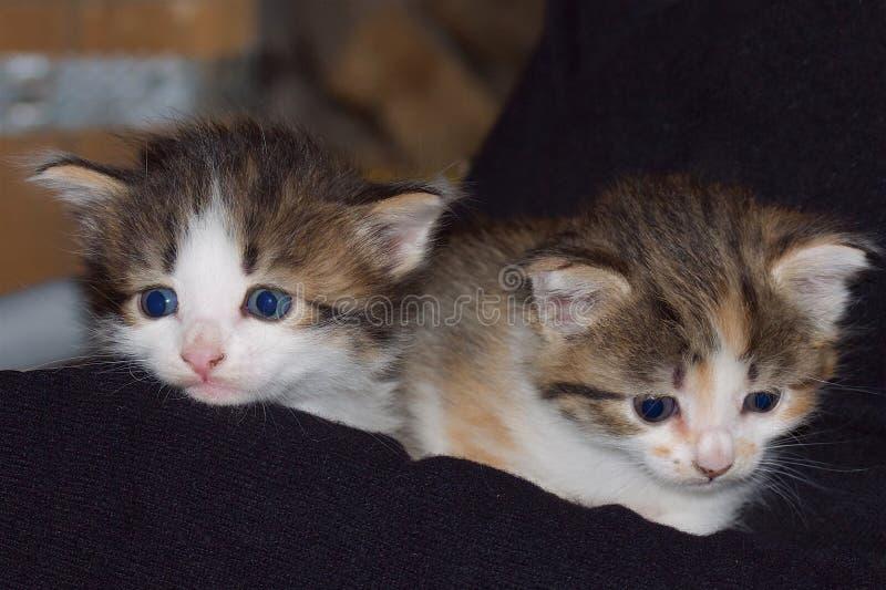 Dos gatitos mezclados de los colores en un fondo oscuro fotografía de archivo libre de regalías