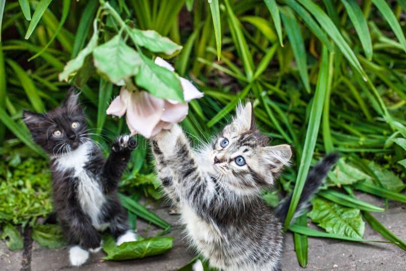 Dos gatitos mullidos que juegan en la hierba Los pequeños gatitos son animales muy activos, divertidos foto de archivo