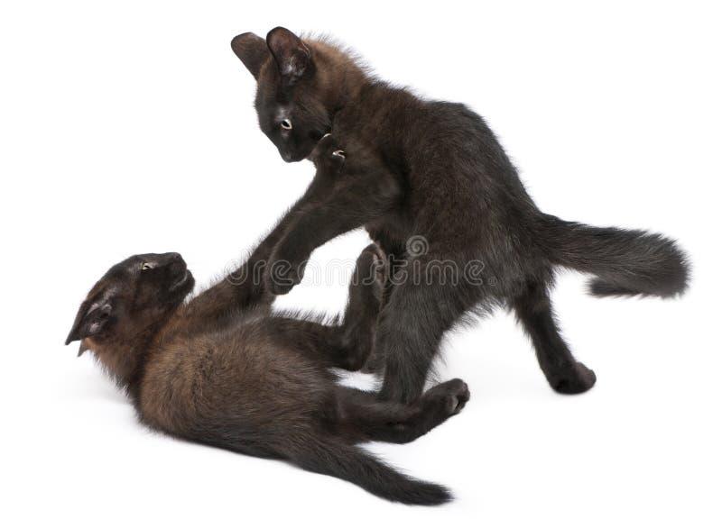 Dos gatitos negros que juegan junto foto de archivo libre de regalías