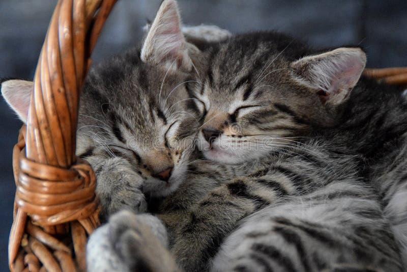 Dos gatitos que duermen en una cesta de mimbre fotografía de archivo