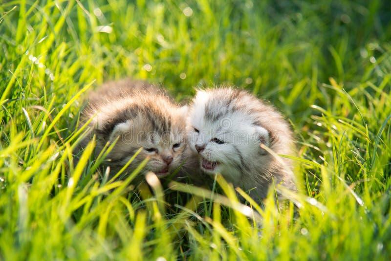 Dos gatitos que juegan en hierba verde imagen de archivo libre de regalías