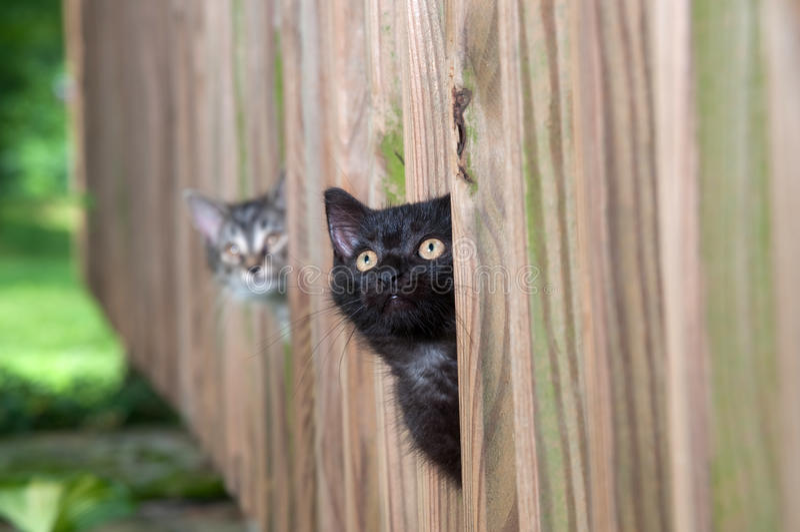 Dos gatitos que miran a escondidas a través de una cerca fotografía de archivo libre de regalías