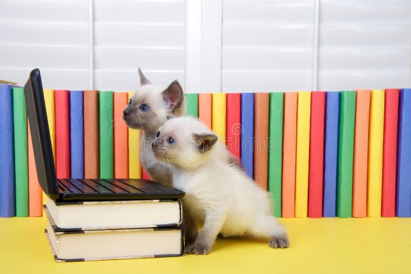 Dos gatitos siameses que miran un ordenador imagen de archivo libre de regalías