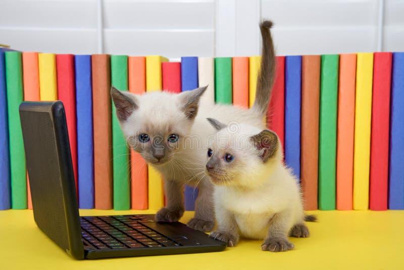 Dos gatitos siameses que miran un ordenador imagenes de archivo