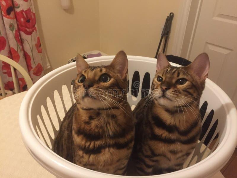 Dos gatos de Bengala en una cesta de lavadero foto de archivo