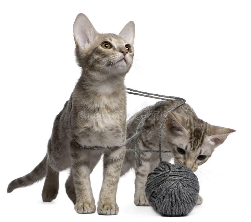 Dos gatos de Ocicat que juegan con una bola del hilado fotos de archivo