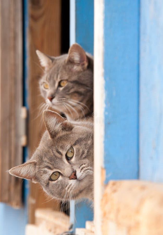 Dos gatos de tabby azules hermosos que miran a escondidas hacia fuera foto de archivo