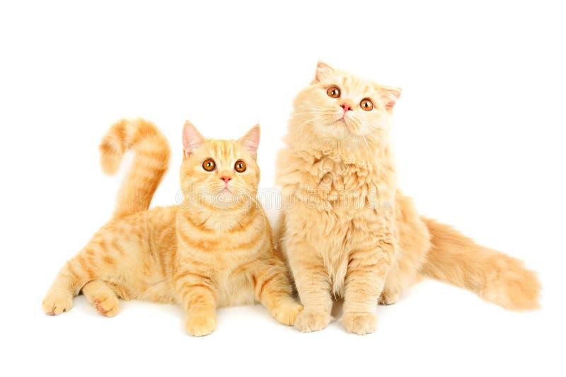 Dos gatos escoceses imagenes de archivo