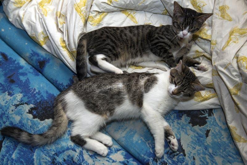 Dos gatos jovenes están durmiendo en el sofá fotos de archivo libres de regalías
