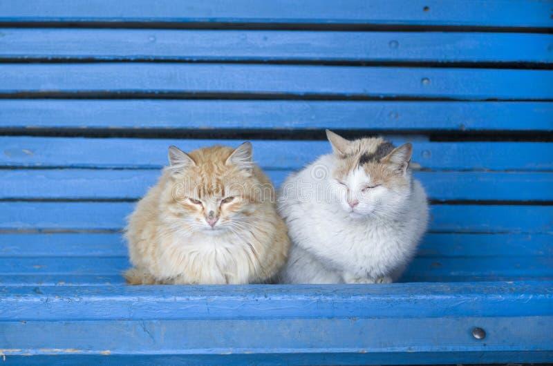 Dos gatos mullidos de la calle en un banco de madera azul fotos de archivo libres de regalías
