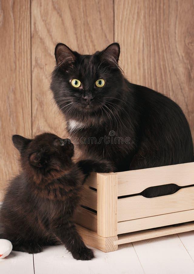 Dos gatos negros de la cola cortada de Kurilian Mamá con su gatito imagen de archivo