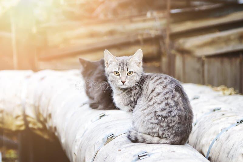 Dos gatos perdidos sientan en el streetin los rayos del sol poniente Foco suave imagen de archivo libre de regalías
