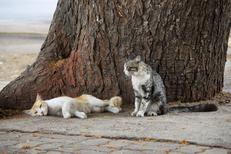 Dos gatos que descansan sobre el tronco de árbol, Pune, maharashtra, la India imágenes de archivo libres de regalías