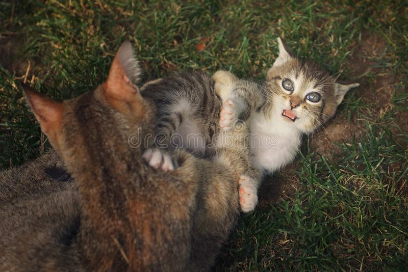 Dos gatos que juegan afuera imagen de archivo libre de regalías