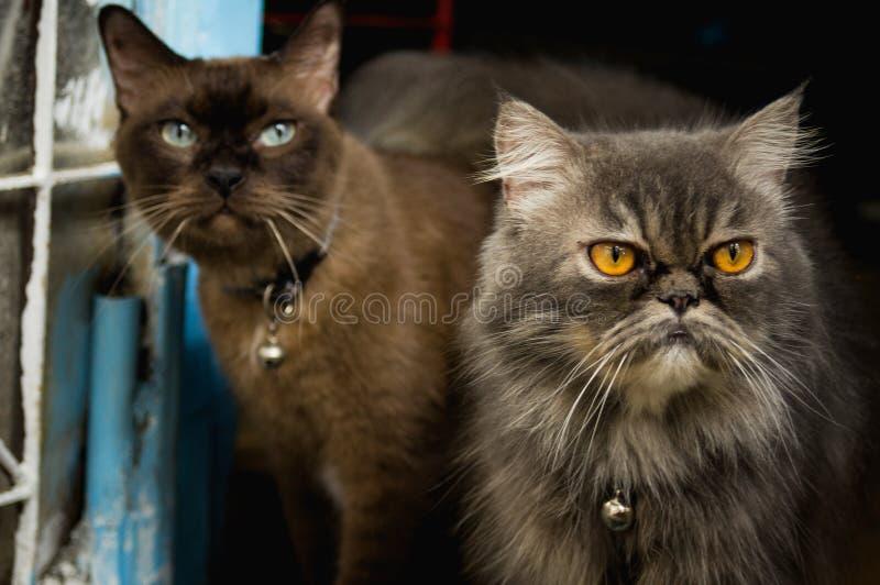 Dos gatos tailandeses foto de archivo libre de regalías