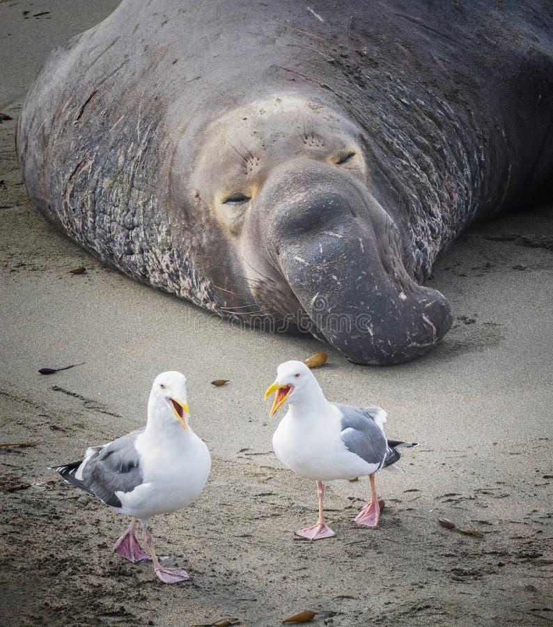 Dos gaviotas del mar parecen reírse del sello del elefante durmiente imagen de archivo